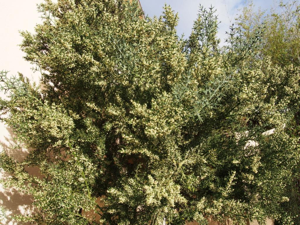 Colletia paradoxa (= Colletia cruciata) Pb040213