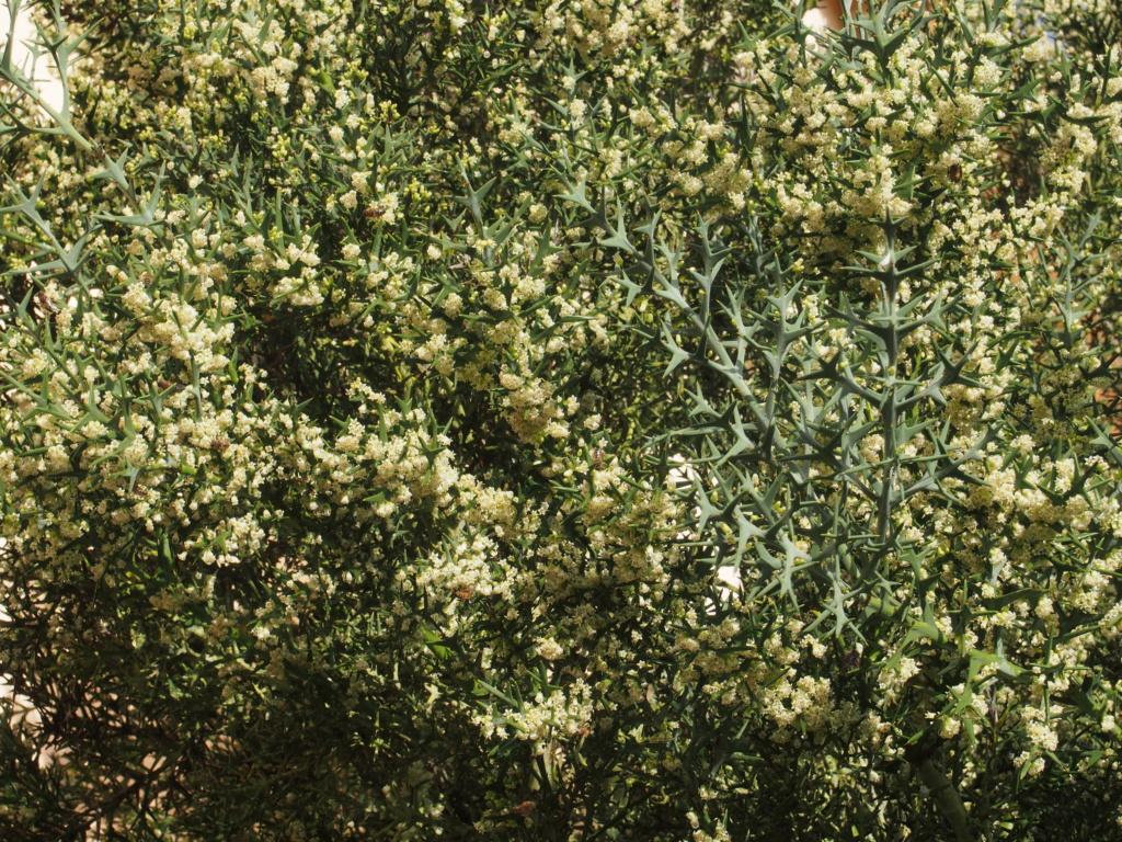 Colletia paradoxa (= Colletia cruciata) Pb040214