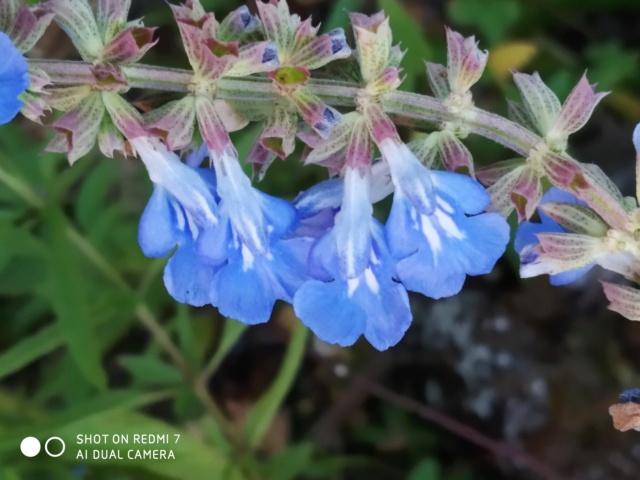 Salvia - les floraisons du moment - Page 20 Salvia19