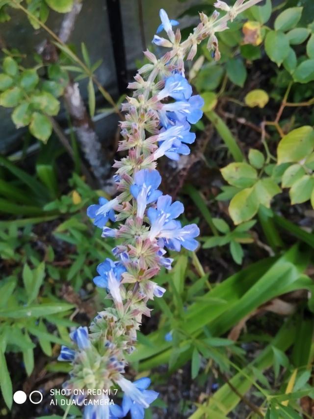 Salvia - les floraisons du moment - Page 20 Salvia21