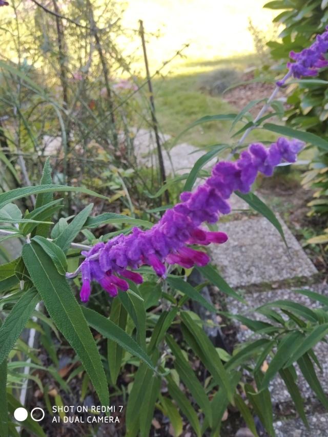 Salvia leucantha Salvia24