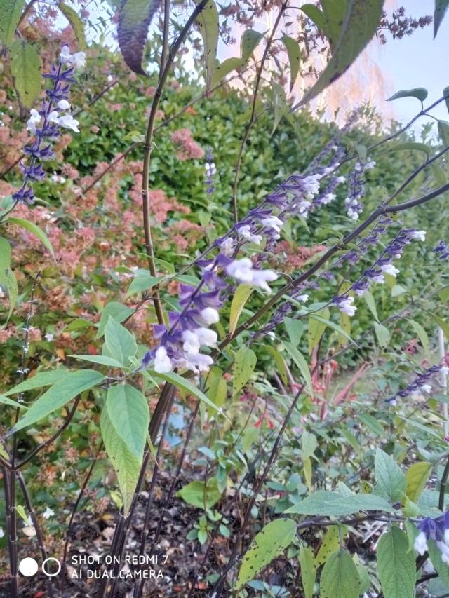 Salvia leucantha Salvia26