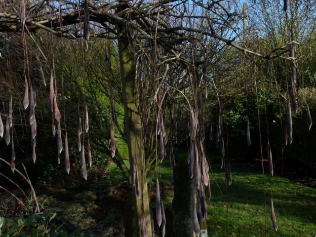 Nos arbres en hiver 2018 Wister11