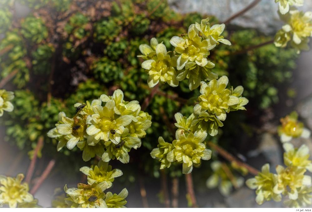 Trois plantes alpines à déterminer SVP _dsc0210
