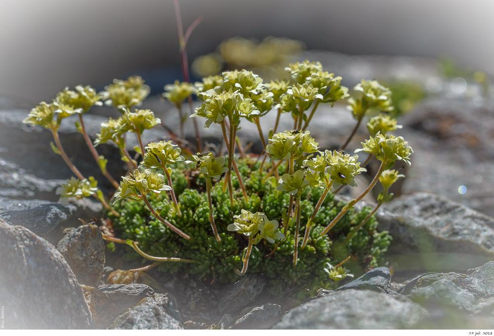 Trois plantes alpines à déterminer SVP _dsc0211