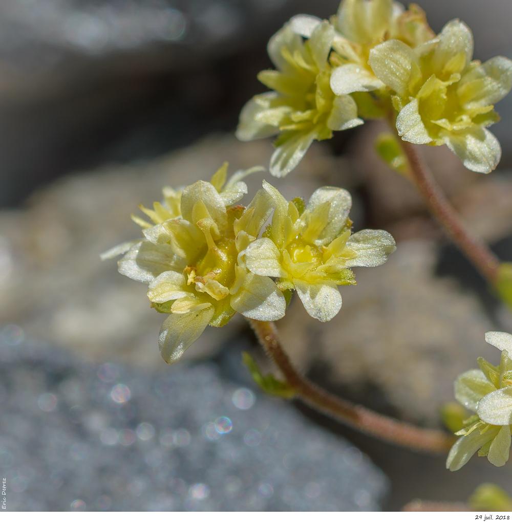 Trois plantes alpines à déterminer SVP _dsc0213