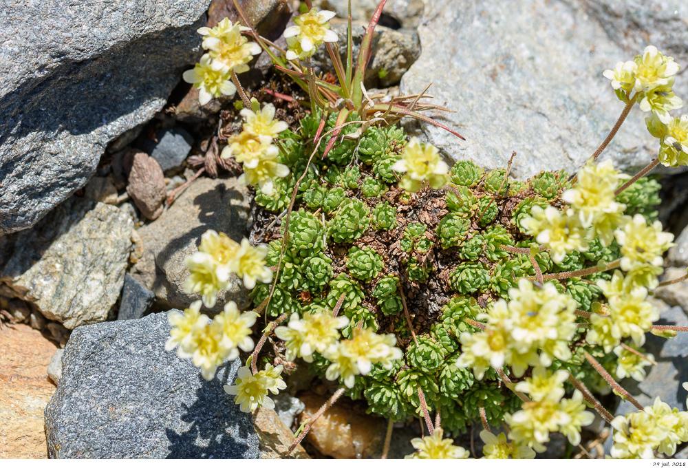 Trois plantes alpines à déterminer SVP _dsc0310
