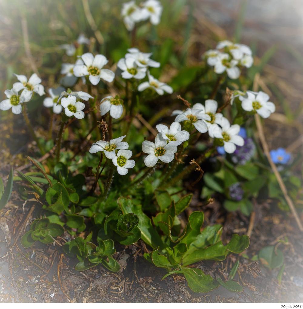 Trois plantes alpines à déterminer SVP _dsc9612