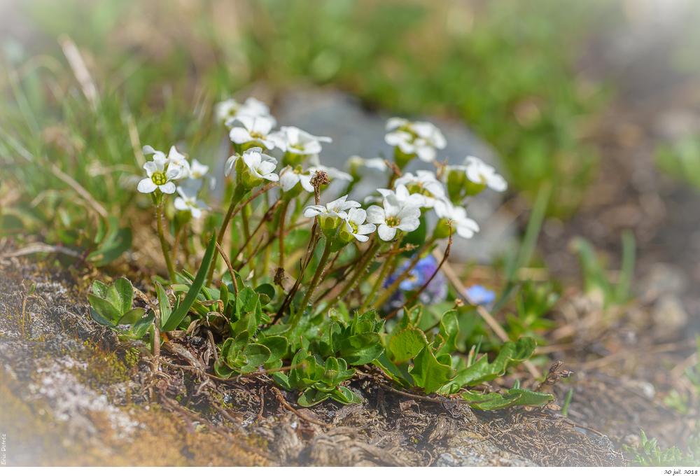 Trois plantes alpines à déterminer SVP _dsc9613