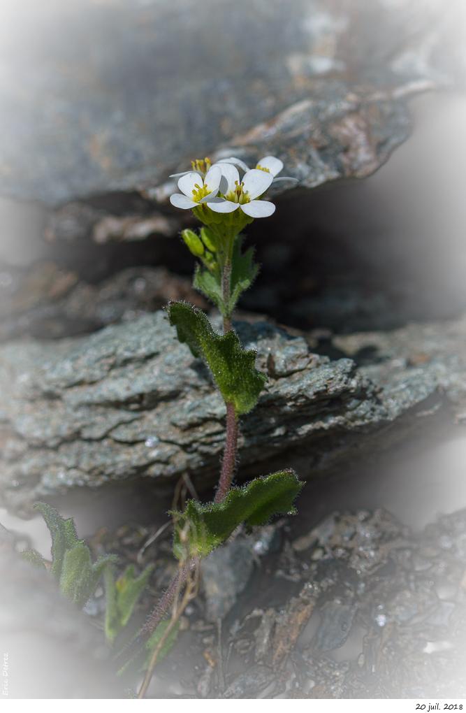 Trois plantes alpines à déterminer SVP _dsc9710