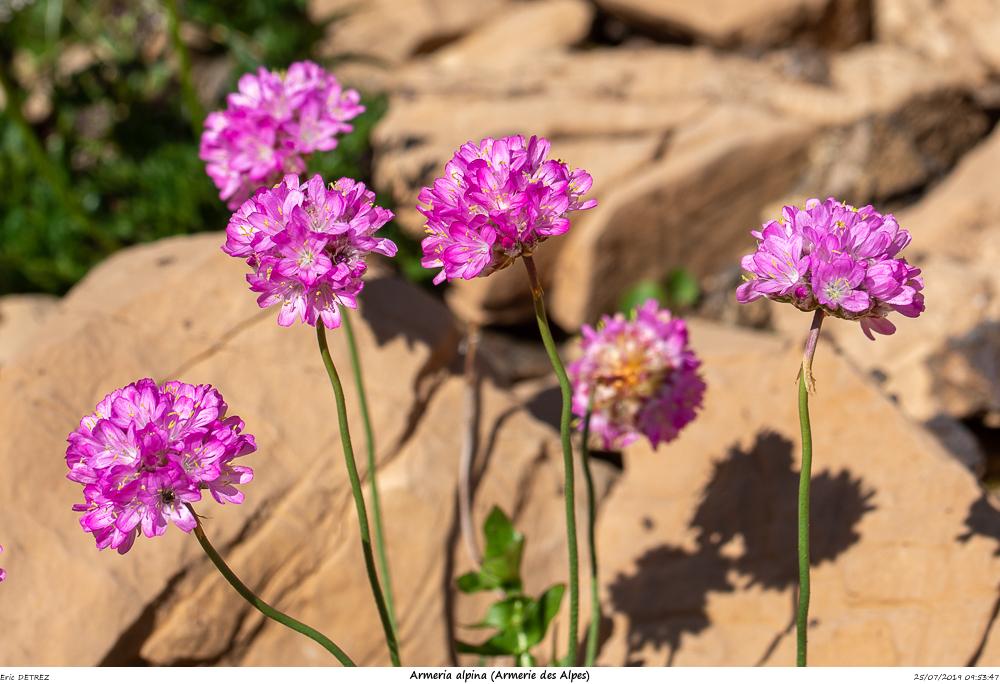 Huez entre flore et libellules Armeri12