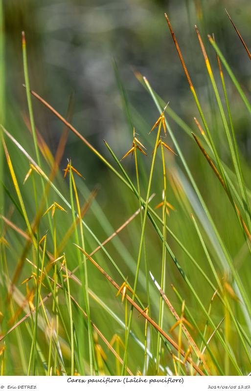 Tourbières des Arcelles et du Luitel Carex_10