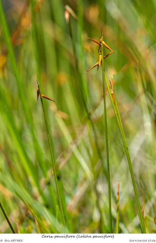 Tourbières des Arcelles et du Luitel Carex_12