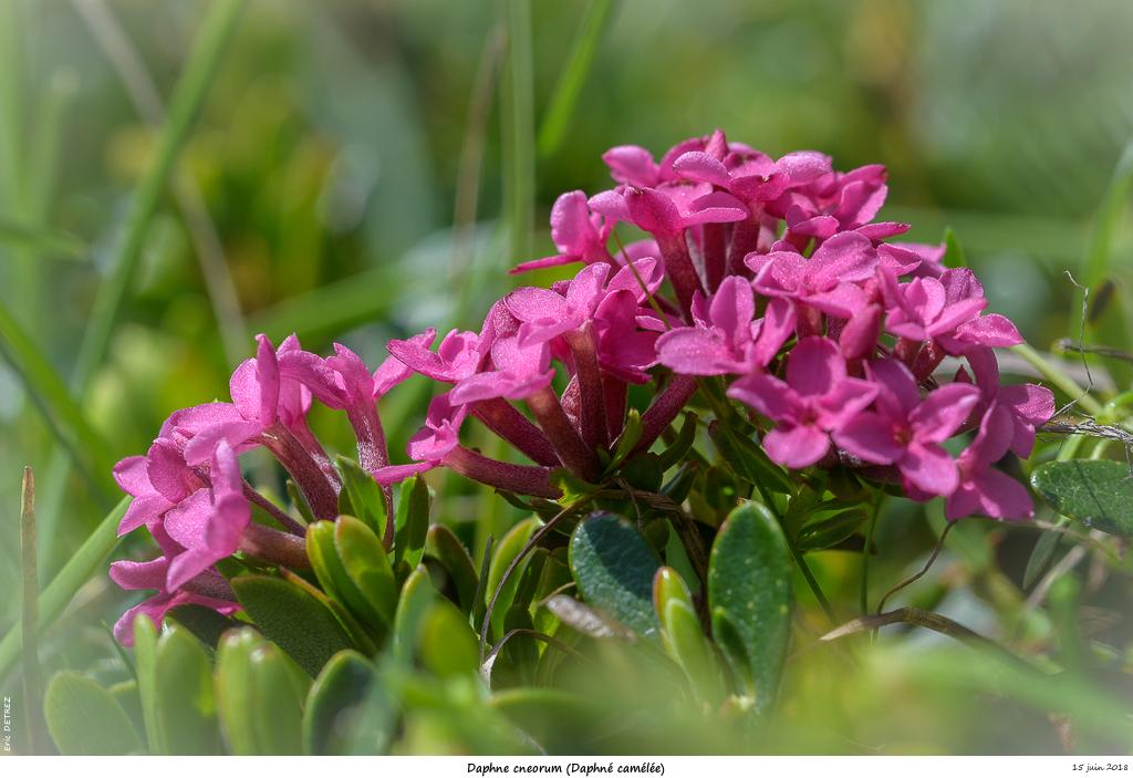 Retour sur 2018 et la flore alpine Daphne11