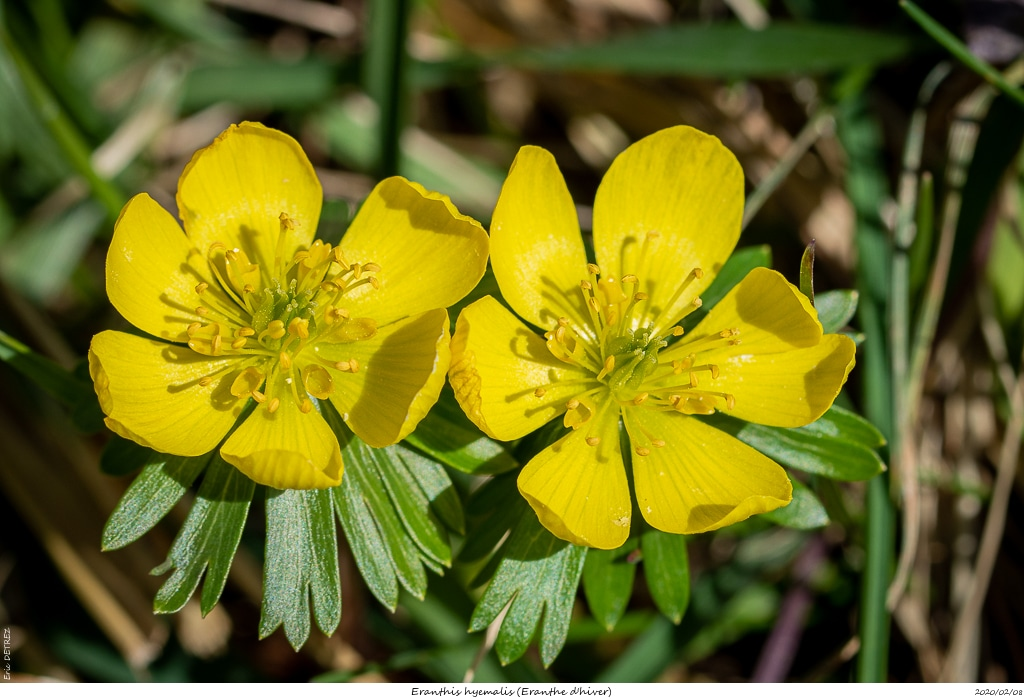 Eranthes en fleur au col du Fau (38) Eranth10