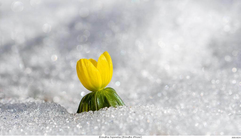 Eranthes en fleur au col du Fau (38) Eranth11