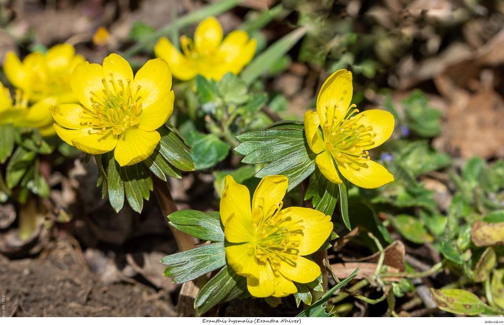 Eranthes en fleur au col du Fau (38) Eranth14