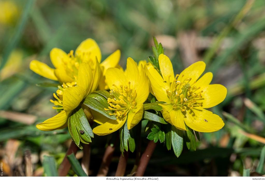 Eranthes en fleur au col du Fau (38) Eranth15