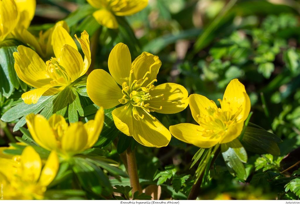 Eranthes en fleur au col du Fau (38) Eranth17