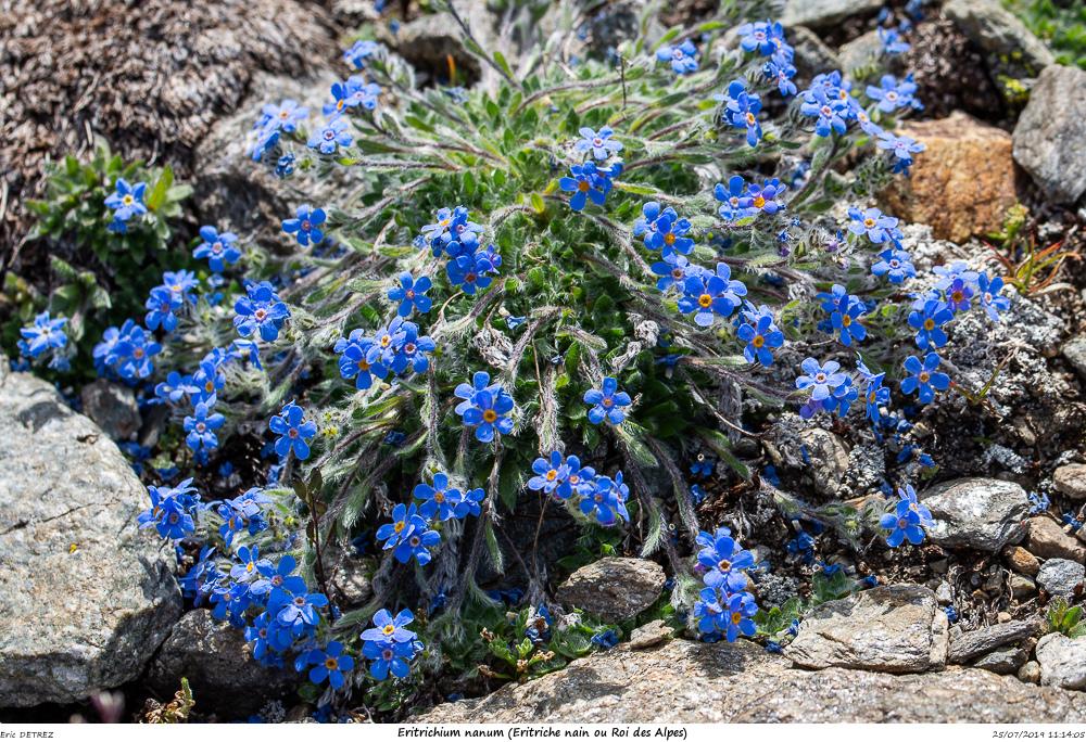 Huez entre flore et libellules Eritri16
