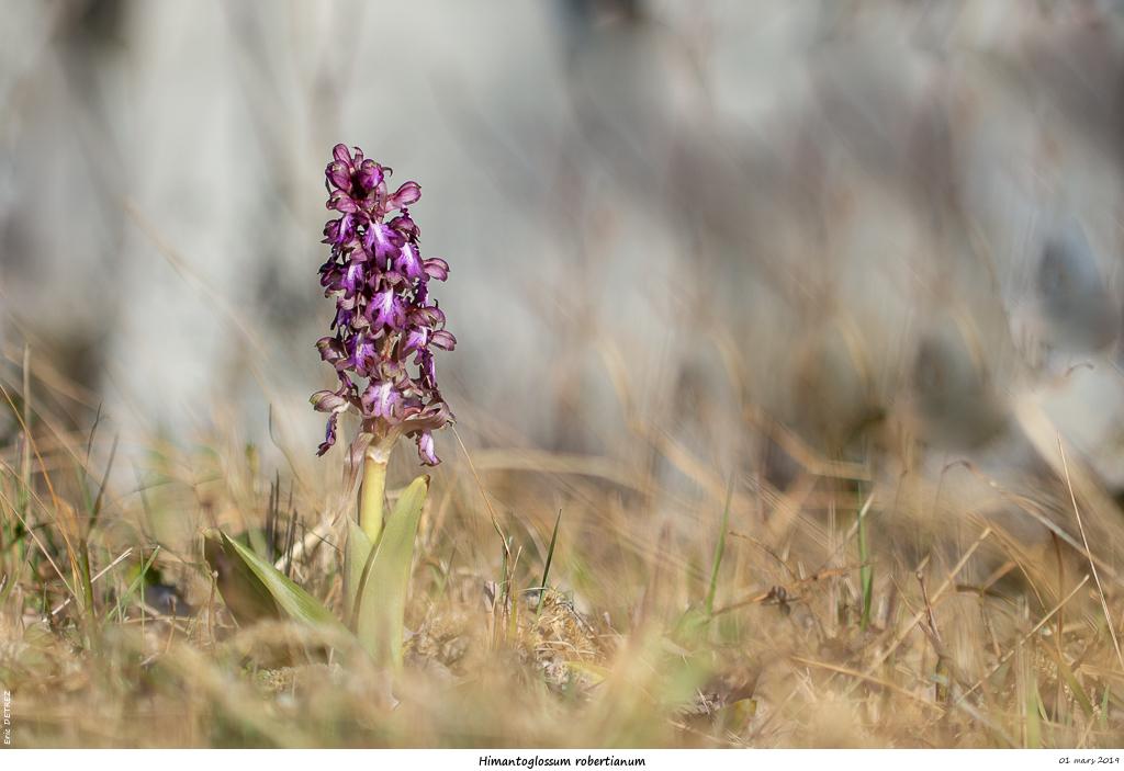 Himantoglossum robertianum (Barlia, Orchis géant ) Himant10