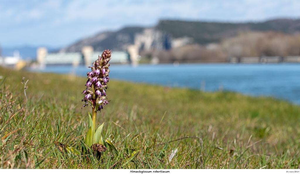 Himantoglossum robertianum (Barlia, Orchis géant ) Himant11