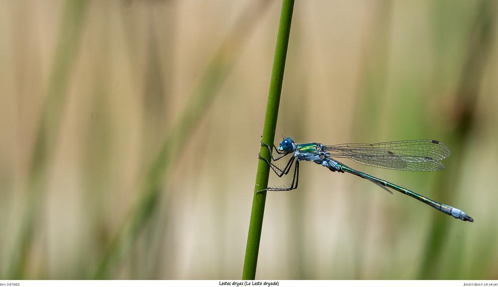 Huez entre flore et libellules Lestes14