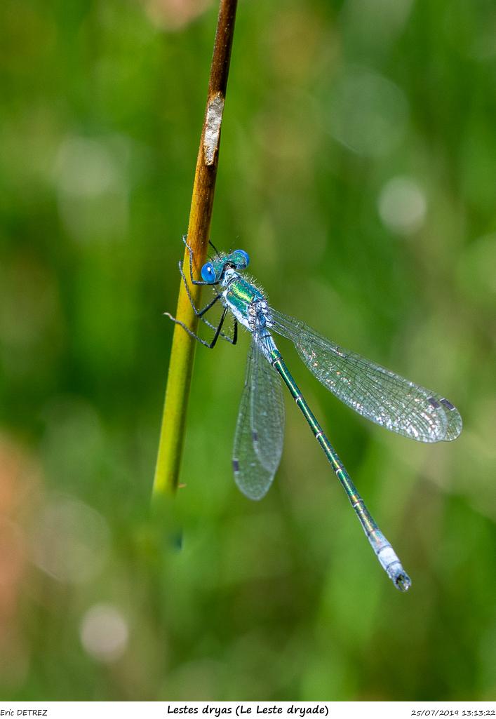 Huez entre flore et libellules Lestes15