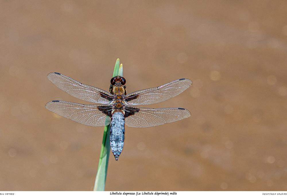Huez entre flore et libellules Libell23