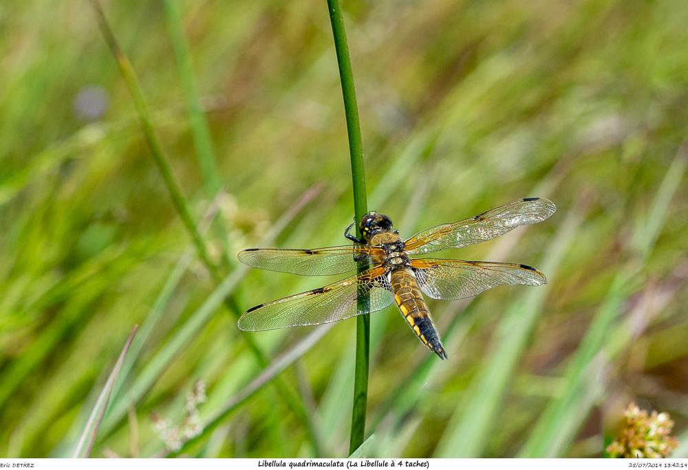 Huez entre flore et libellules Libell24