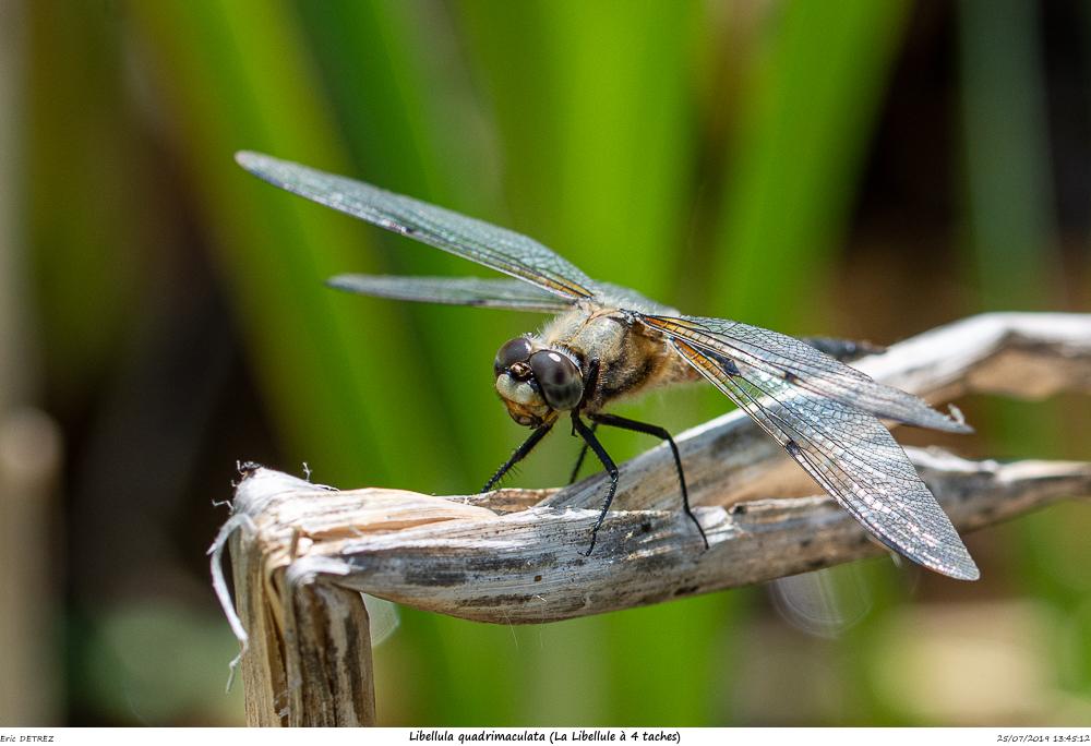 Huez entre flore et libellules Libell25
