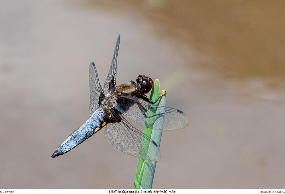 Huez entre flore et libellules Libell26
