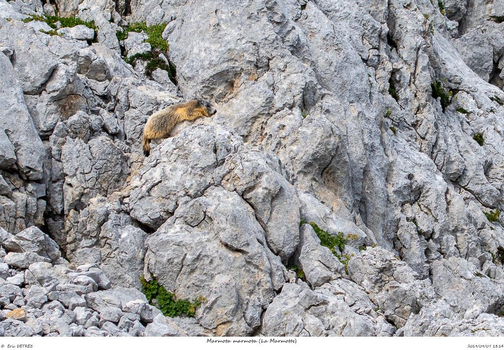 A la rencontre des Bouquetins Marmot14