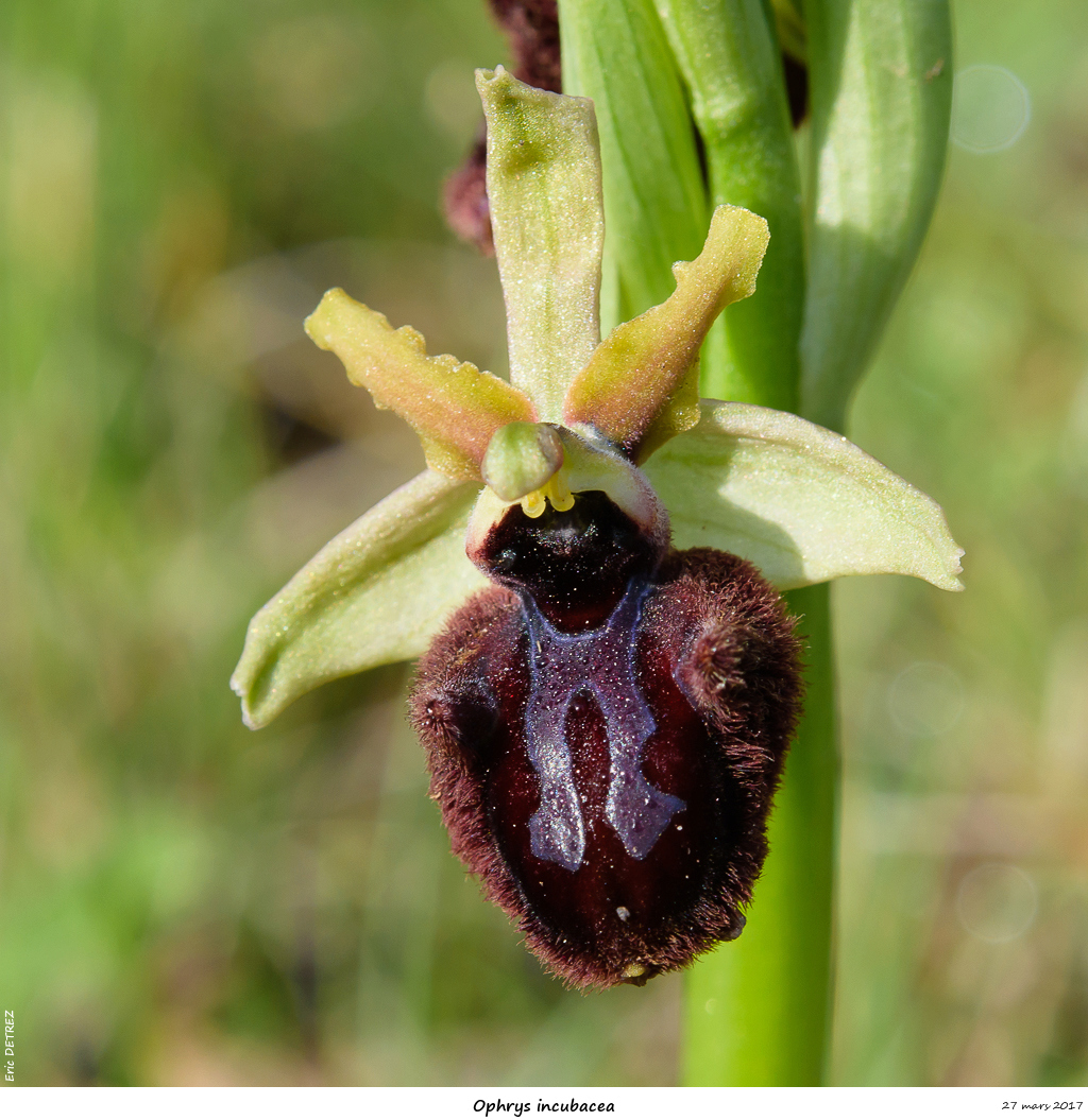 Ophrys passionis Ophrys15