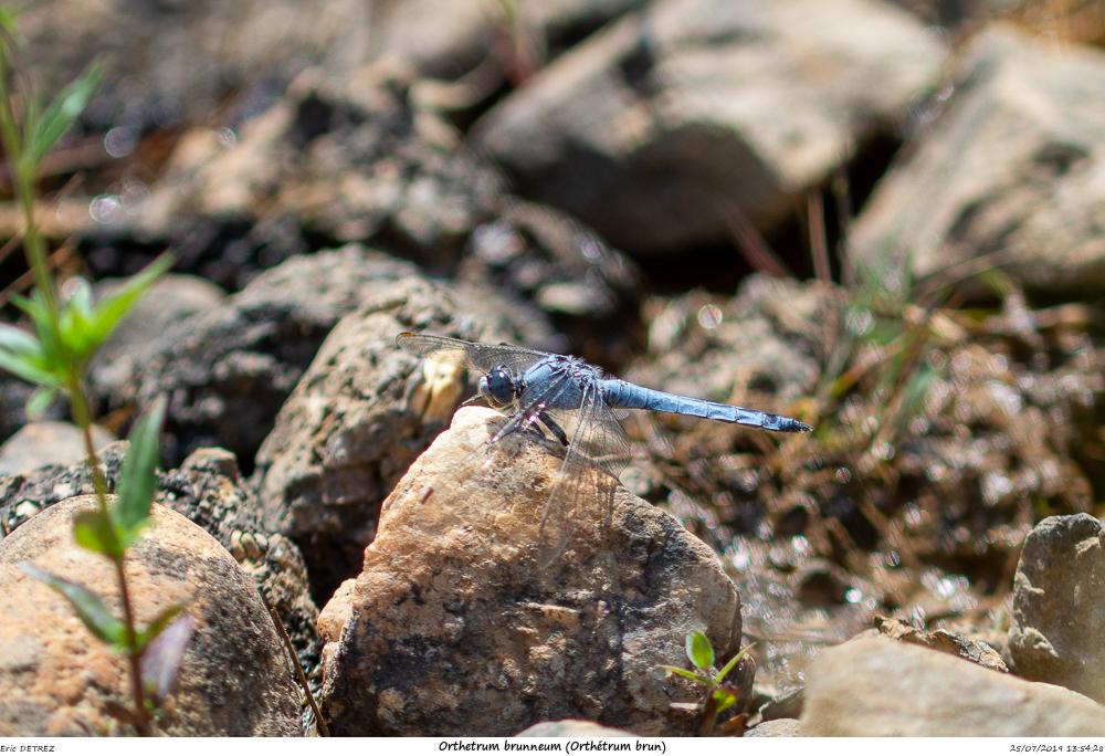 Huez entre flore et libellules Orthet12