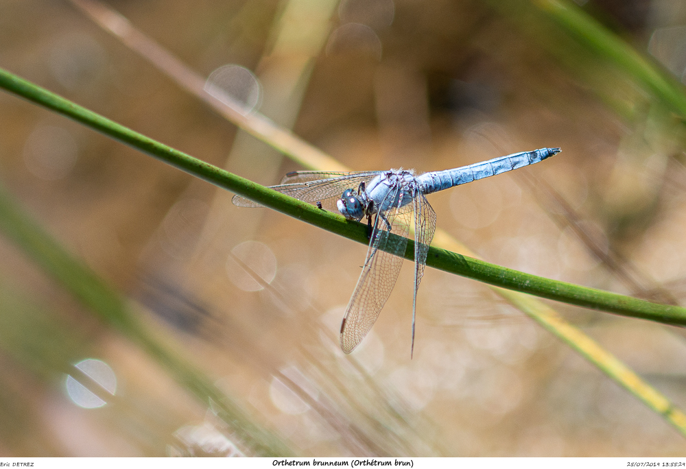 Huez entre flore et libellules Orthet13