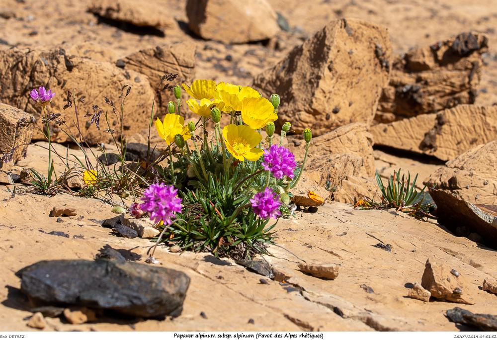 Huez entre flore et libellules Papave13