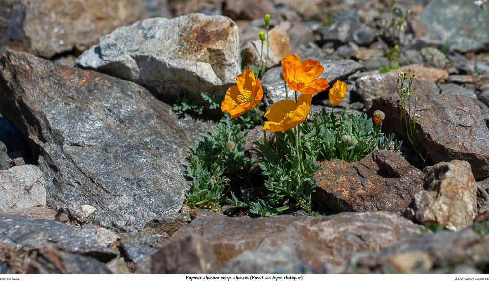 Huez entre flore et libellules Papave15