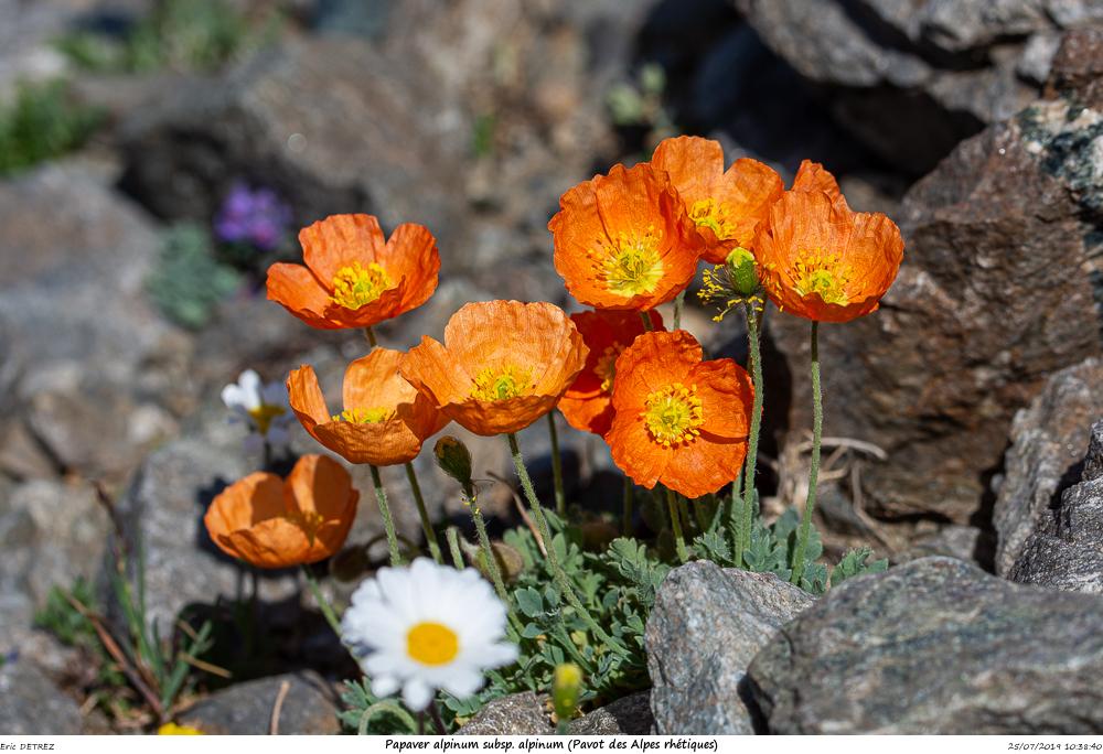 Huez entre flore et libellules Papave16