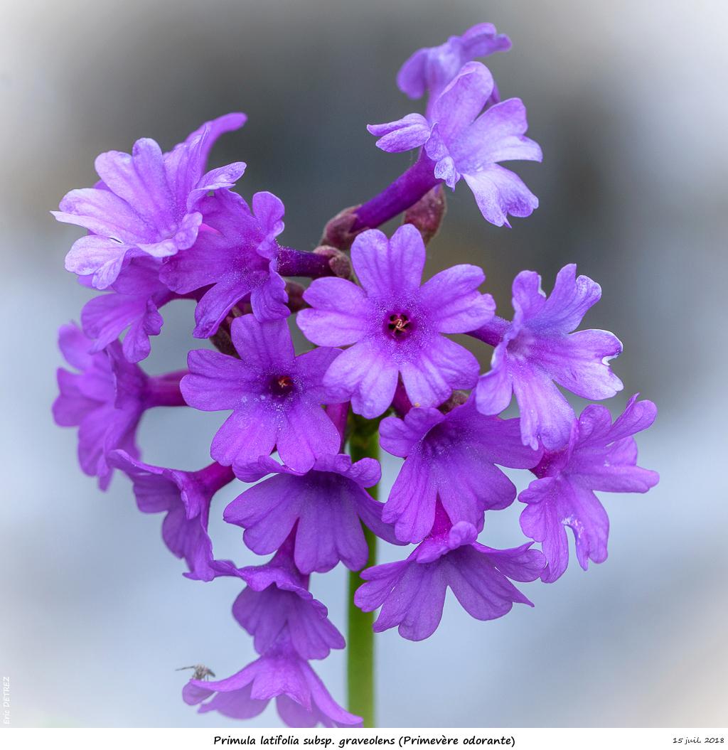 Retour sur 2018 et la flore alpine Primul15