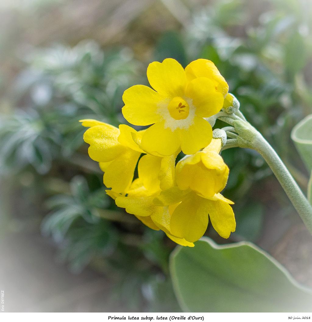 Retour sur 2018 et la flore alpine Primul16