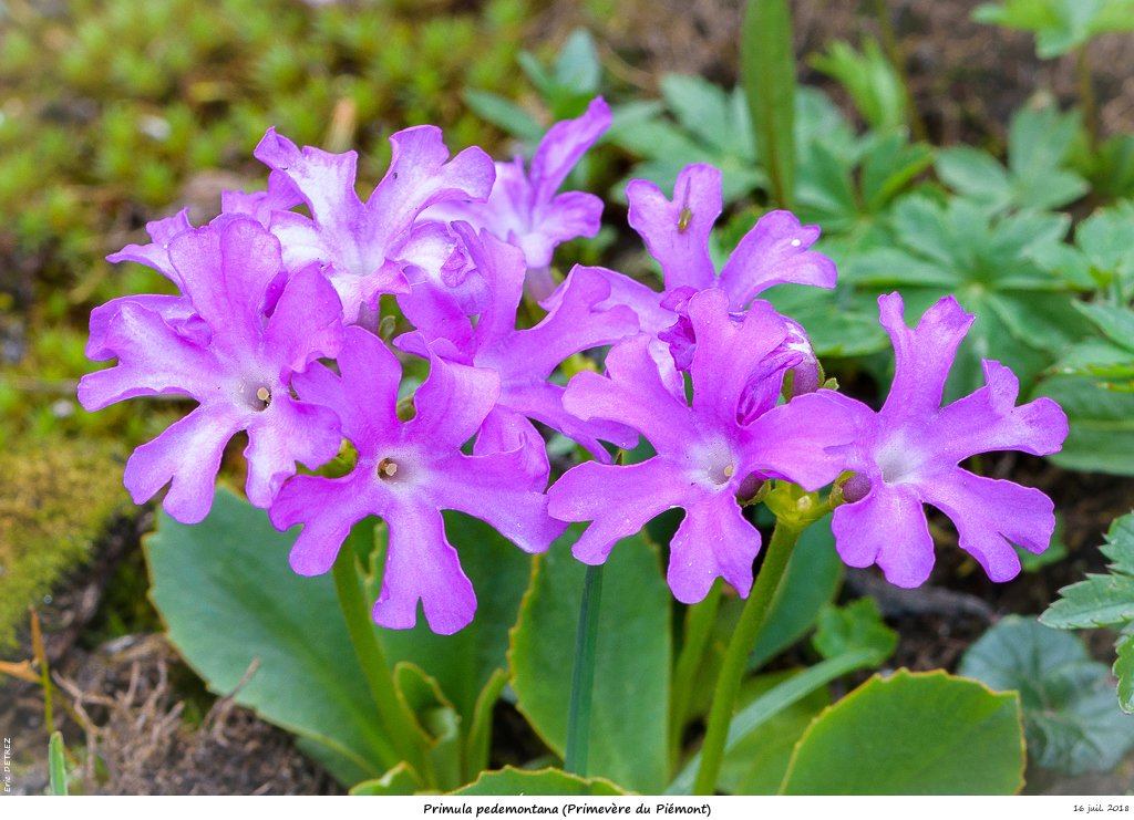 Retour sur 2018 et la flore alpine Primul17