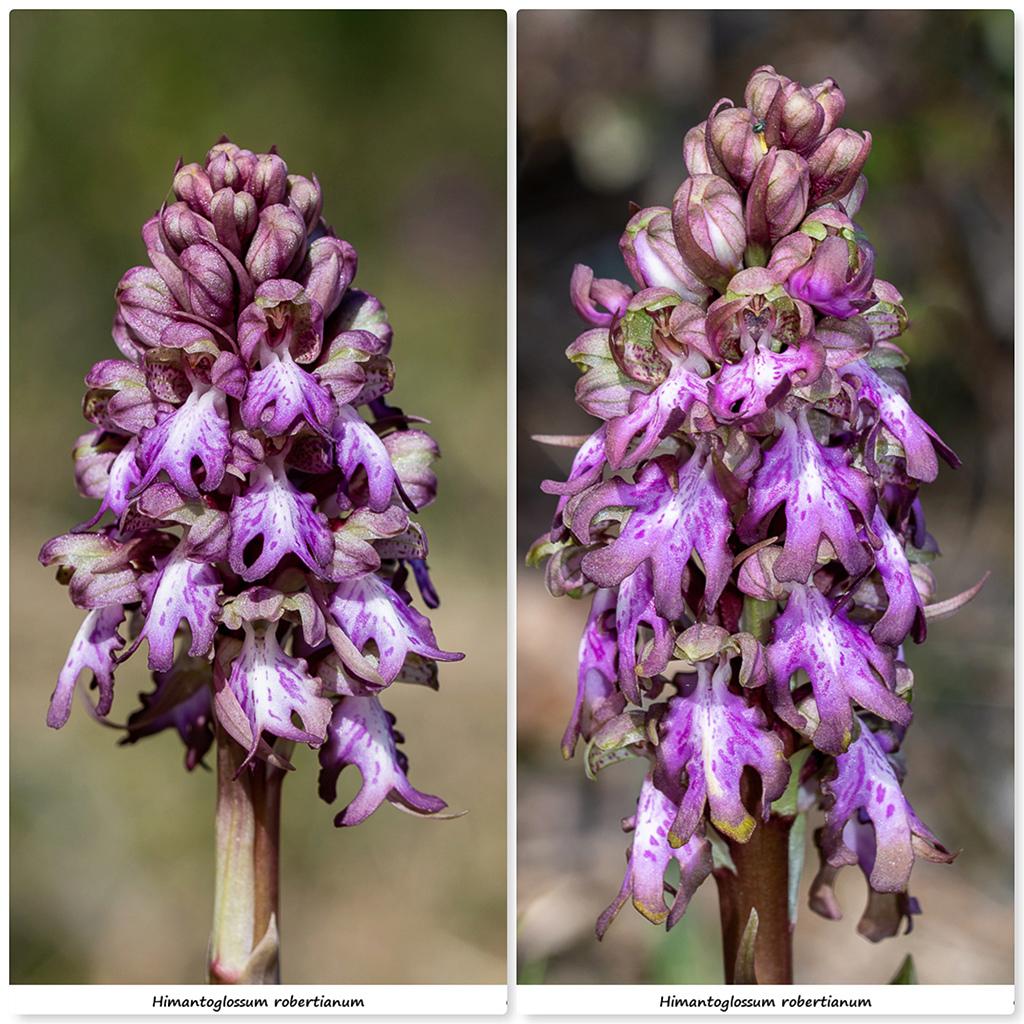 Himantoglossum robertianum (Barlia, Orchis géant ) Rb110