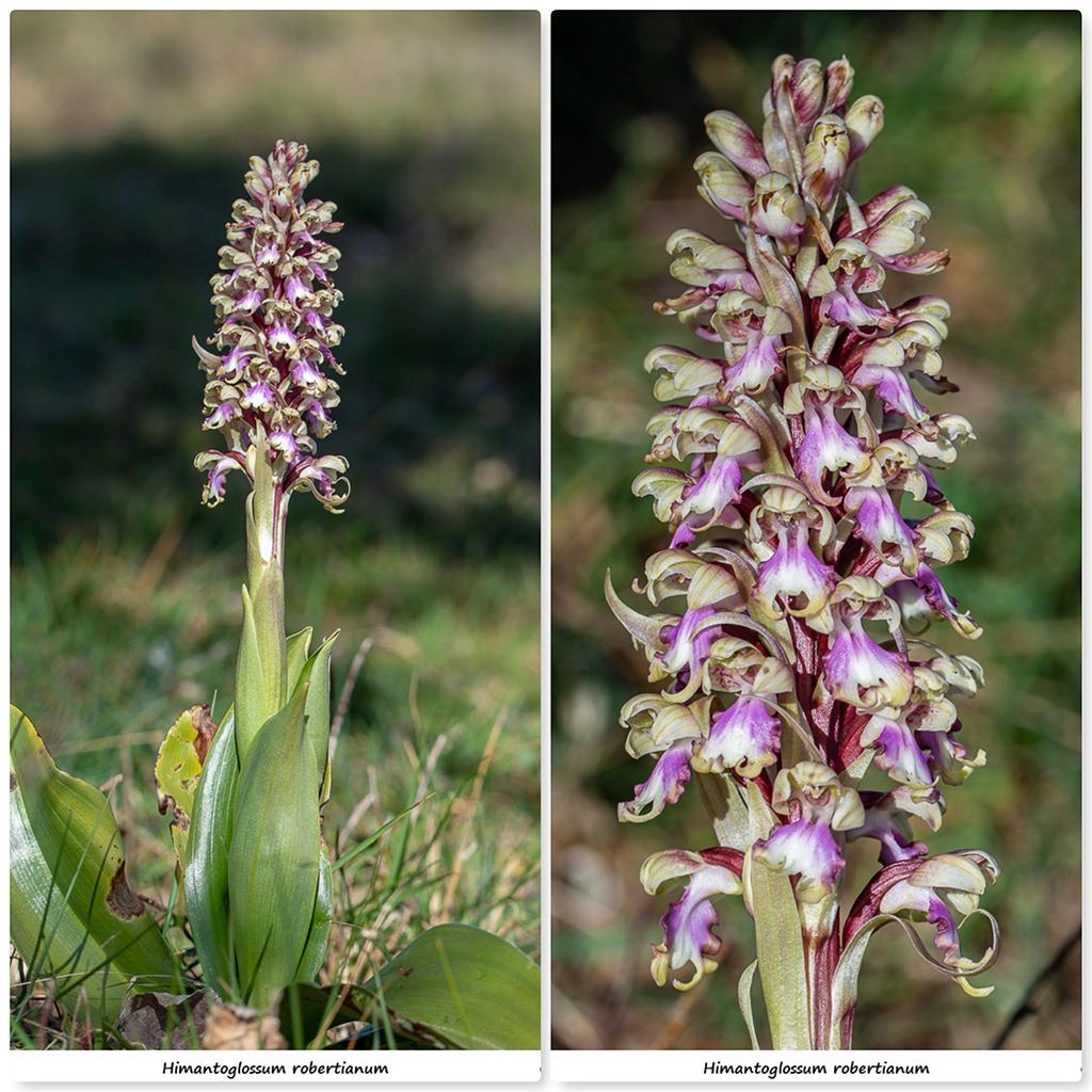 Himantoglossum robertianum (Barlia, Orchis géant ) Rb310