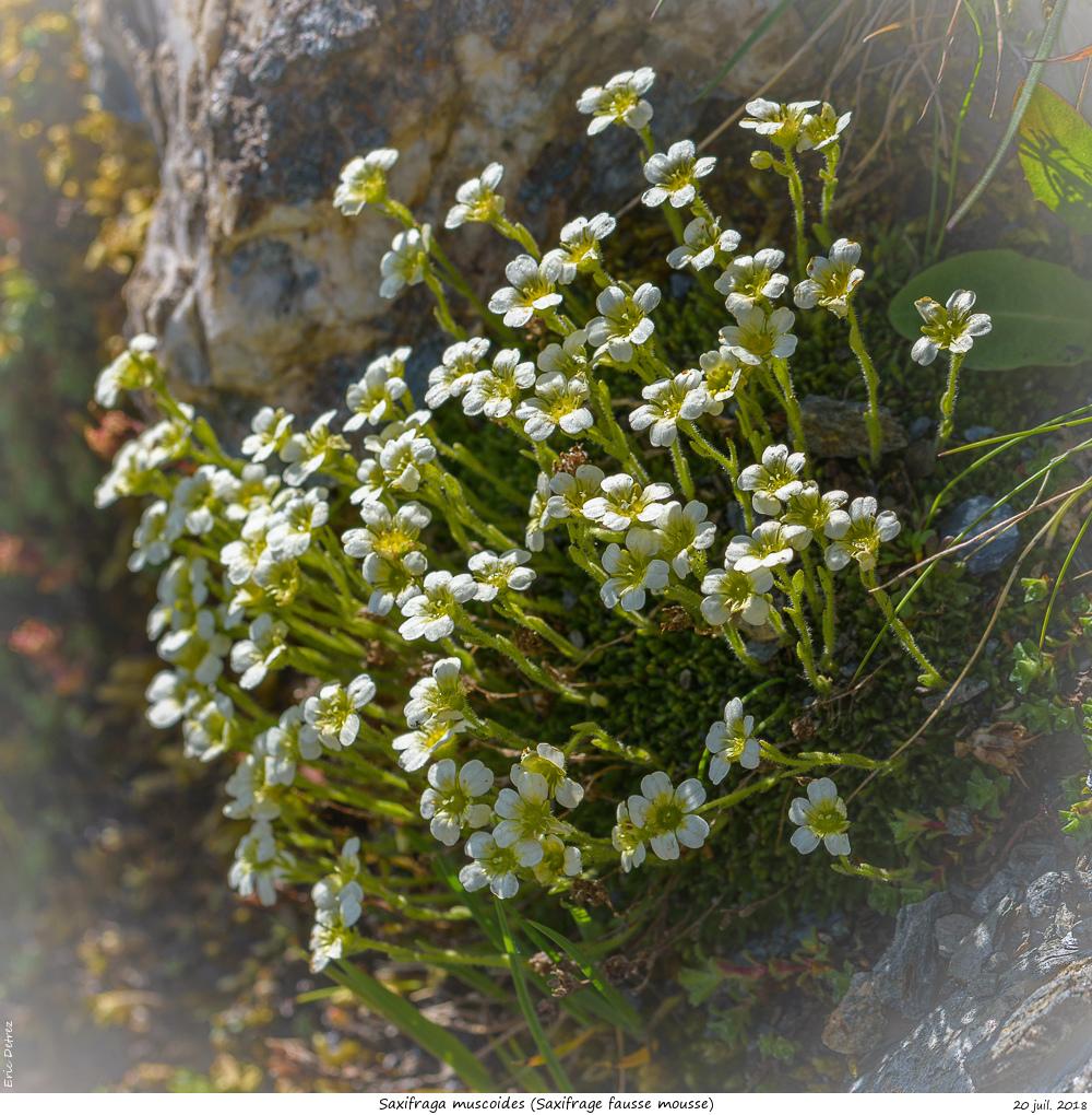 Trois plantes alpines à déterminer SVP Saxifr17