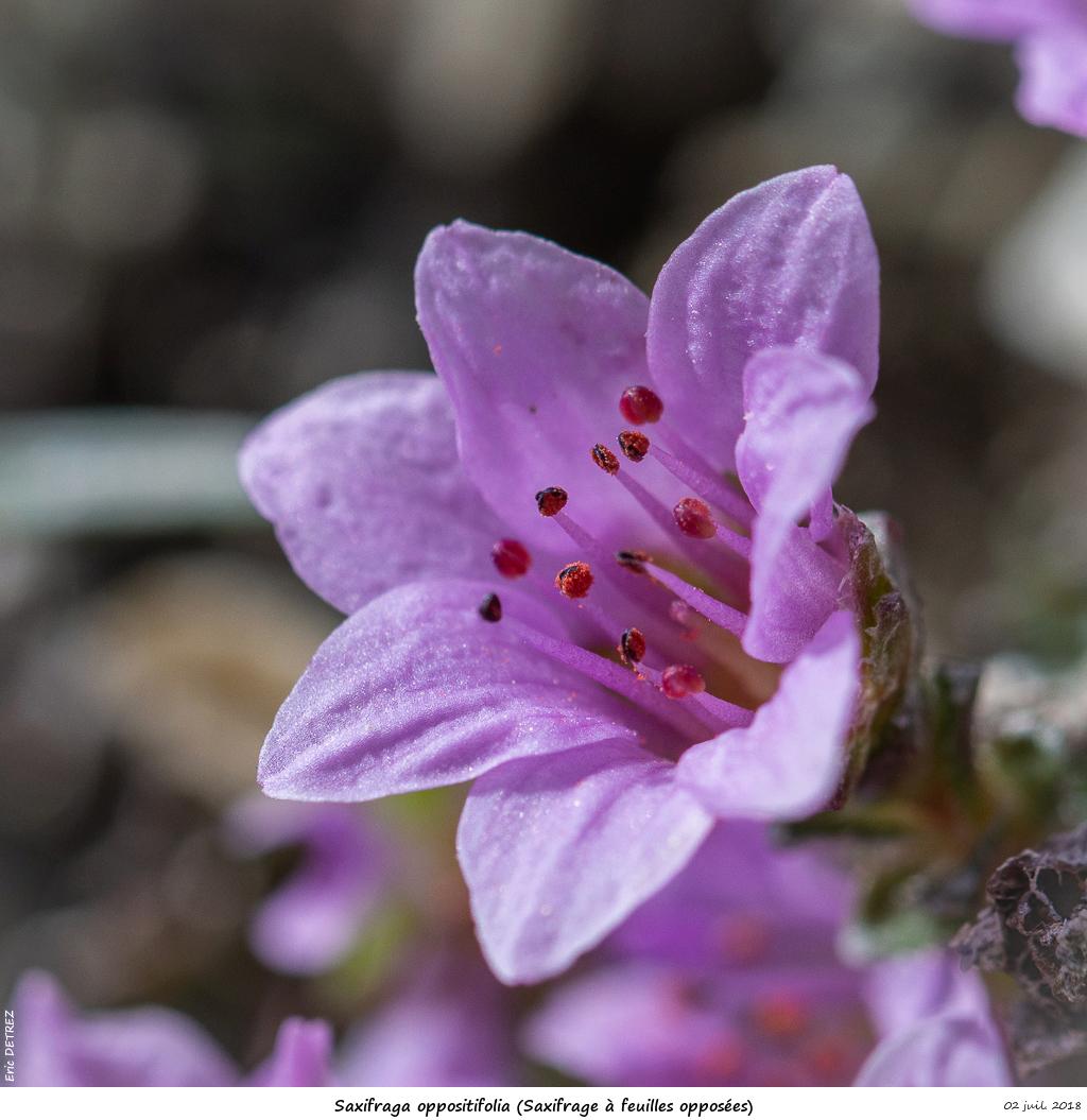 Retour sur 2018 et la flore alpine Saxifr22