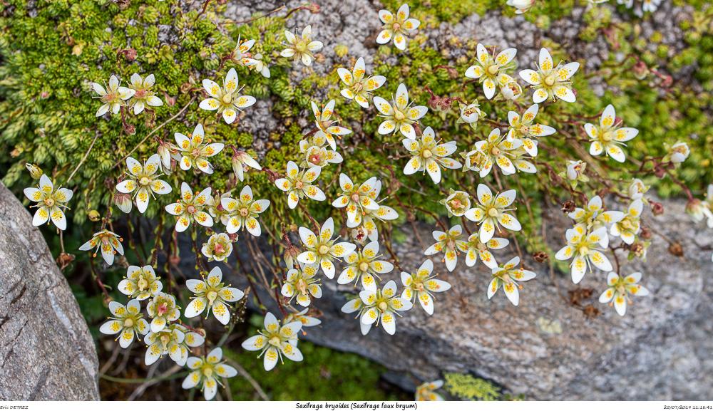Huez entre flore et libellules Saxifr32