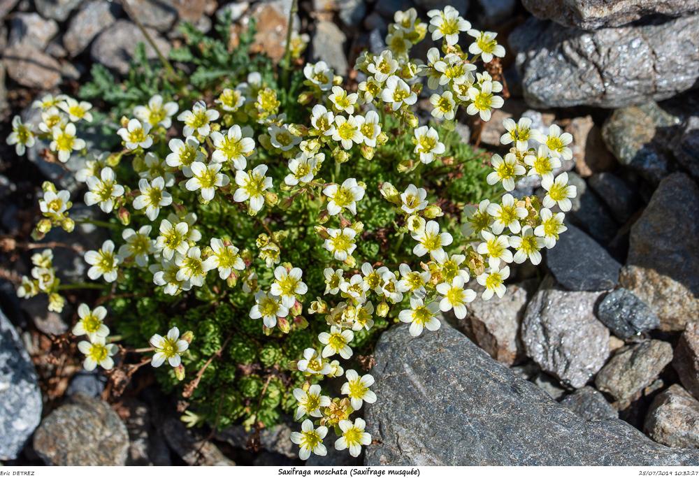 Huez entre flore et libellules Saxifr33