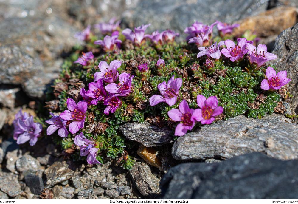 Huez entre flore et libellules Saxifr34