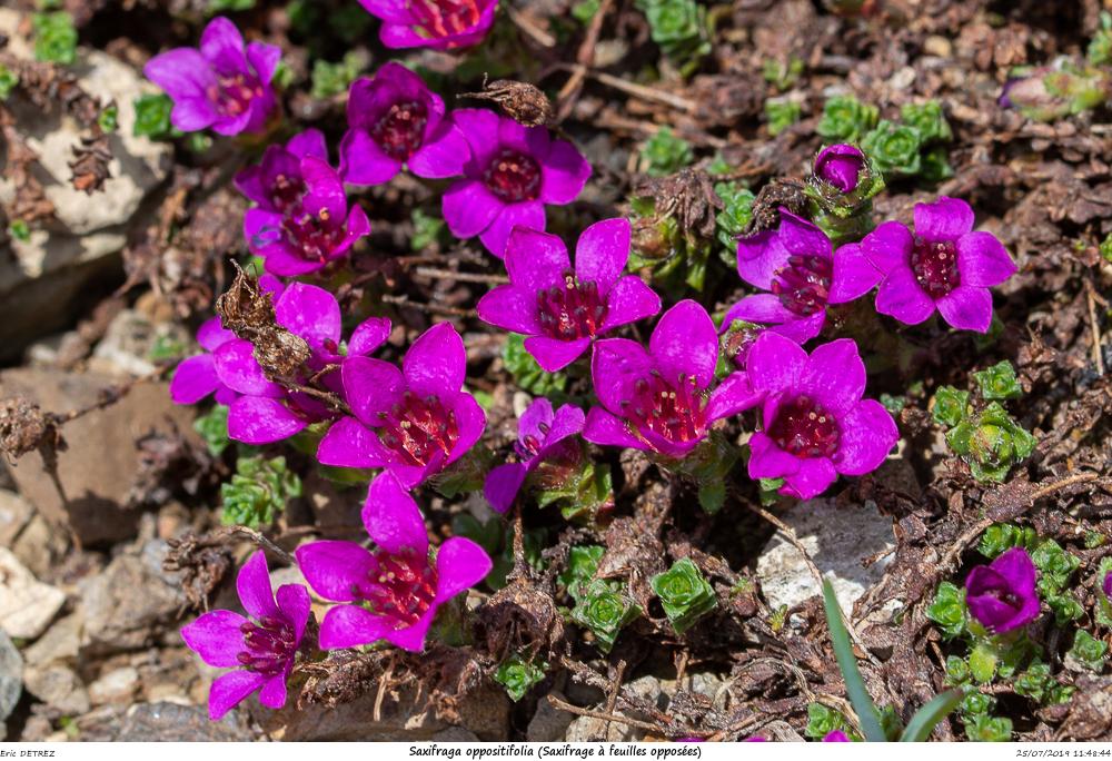 Huez entre flore et libellules Saxifr35